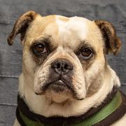 Rofina 3 4 Jahre - Englische-Bulldogge- Mix