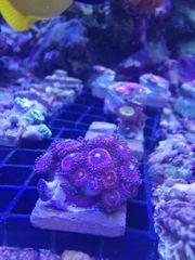 Zohantus Pink Zipper Korallen