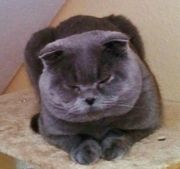deckkater bkh scottish fold