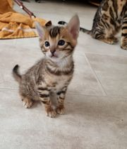 Katzenbabys Kitten Bengel