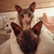 Sphynx-Levkoy Geschwister suchen Zuhause mit