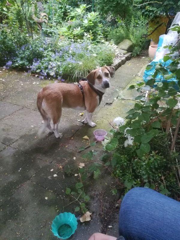 Tierschutzhund Paula ca 3 Jahre