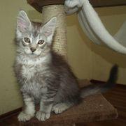 Wunderschöne Maine Coon Kitten suchen