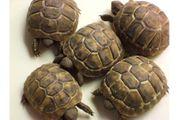 Verkaufe griechische Landschildkröten NZ 2018
