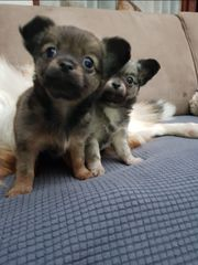 Reinrassige Chihuaha
