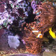 Korallen Anemonen hier Kupferanemone