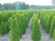 Heckenpflanzen Wurzelballen Thuja Smaragd 220-250