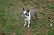Wunderschöner Boston Terrier Rüde kleine