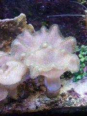 Pilzlederkorallen