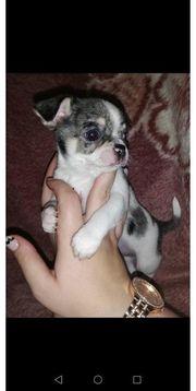 3 Chihuahuas aus FCI Verpaarung