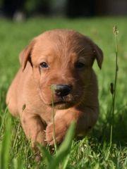 Süße foxred Labrador Rüden mit