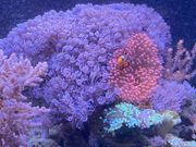 Koralle Meerwasser pumpende Xenia