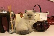 Reinrassige Bkh Weißpoint Lilac Kitten