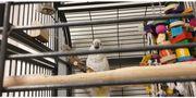 Kakadu Weißhabenkakadu