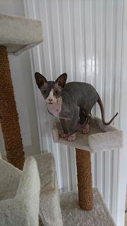 Sphynx Kater 6 Monate alt