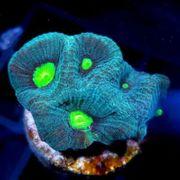 Korallen aus Nachzucht mit günstigem