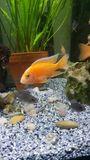 malawi junge fisch 3. 4cm - Ludwigshafen Mitte - Warmwasserfisch. junge fisch 3.4 cm fire fisch. - Ludwigshafen Mitte