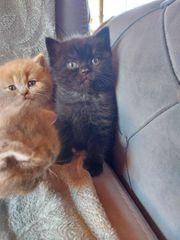 Reinrassige Bkh kitten letzter 2