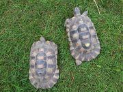 1 Paar Breitrandschildkröten NZ 2009