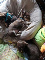 Chihuahua wepen