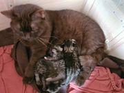 BKH Mix Kätzchen mit Mama