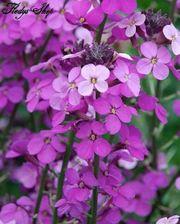 10 Samen Lunaria Annua Silberblatt