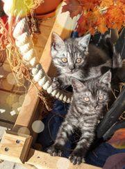 Britische Kurzhaar BKH Kitten Katzenbaby