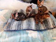 Bengal N 24 kittens