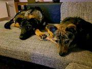 Suchen ein Familienhund