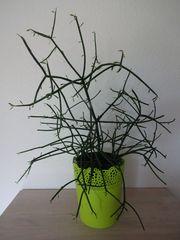Bleistiftstrauch Euphorbia tirucalli Sukkulente Wolfsmilch