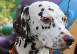 Dalmatiner Welpen Hessen VDH: Kleinanzeigen aus Dietzhölztal - Rubrik Hunde