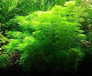 Kleine Ambulia Wasserpflanzen Versand