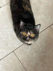 Schöne Exotic Shorthair Katze