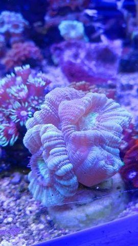 Bild 4 - Meerwasser korallen und Zubehör - Ötzingen Sainerholz