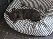 Französische Bulldogge Welpe mit AT