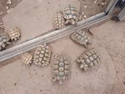 Maurische Landschildkröten Testudo graeca