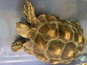 spornschildkröte Sulcata