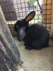 Zuckersüße junge Zwergwidder Kaninchen
