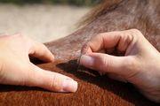 Akupunktur für Pferde