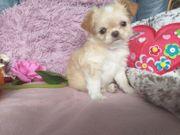 Chihuahua mit Stupsnase
