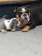 Englische Bulldoggen Welpen 2 Rüden