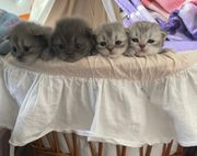 BLH Kitten