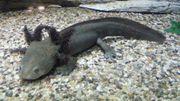 Axolotl - 50 -- pro Stück