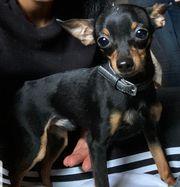 Chihuahua-Pinscher Rüde