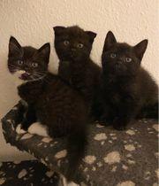 süße BKH Mix Kitten Katzenbabys