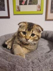 verkaufe BKH Kitten