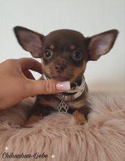 Chihuahuawelpen Chihuahua Hund SchokoTsn