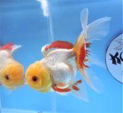 KOI 13 Anz 64 2020 Goldfisch -