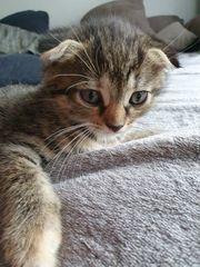 Scottish Fold Mix Kitten Abgabebereit
