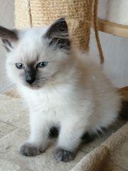 Sibirische Waldkatze Neva Masquarade Kitten